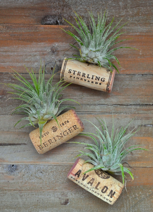wine cork air plants