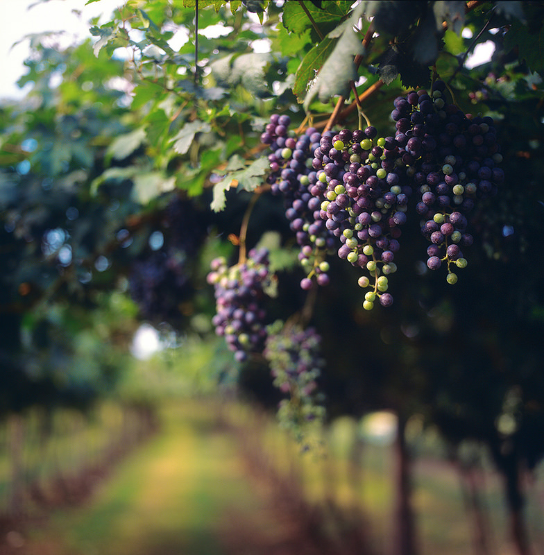 Grapes benefits of wine