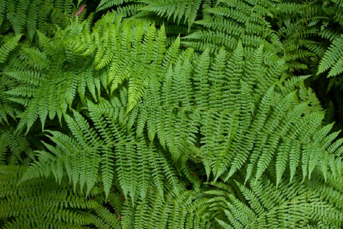 Perk up ferns with castor oil