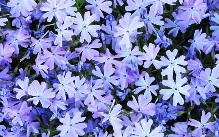 Blue moss phlox natural weed killer