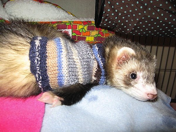 Ferret sweater