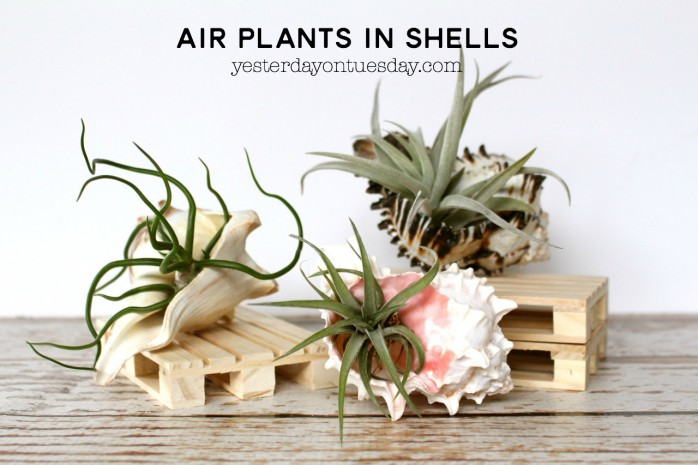 Air plants in shells diy