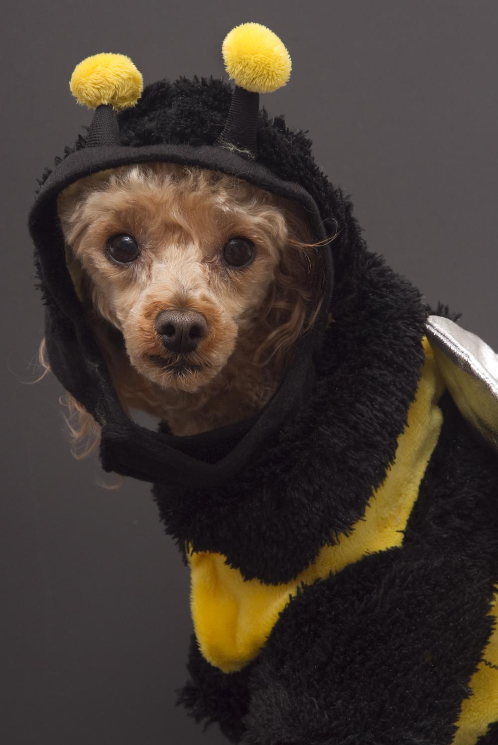 Bumblebee dog funny dog halloween costumes