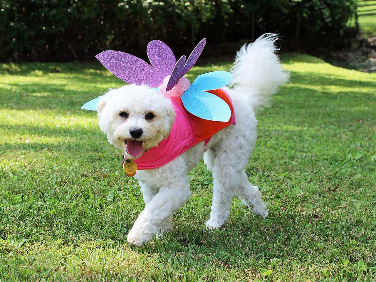 Doggie fairy wings