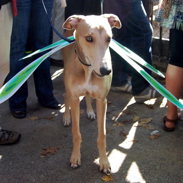 Dragonfly dog dog halloween costume ideas