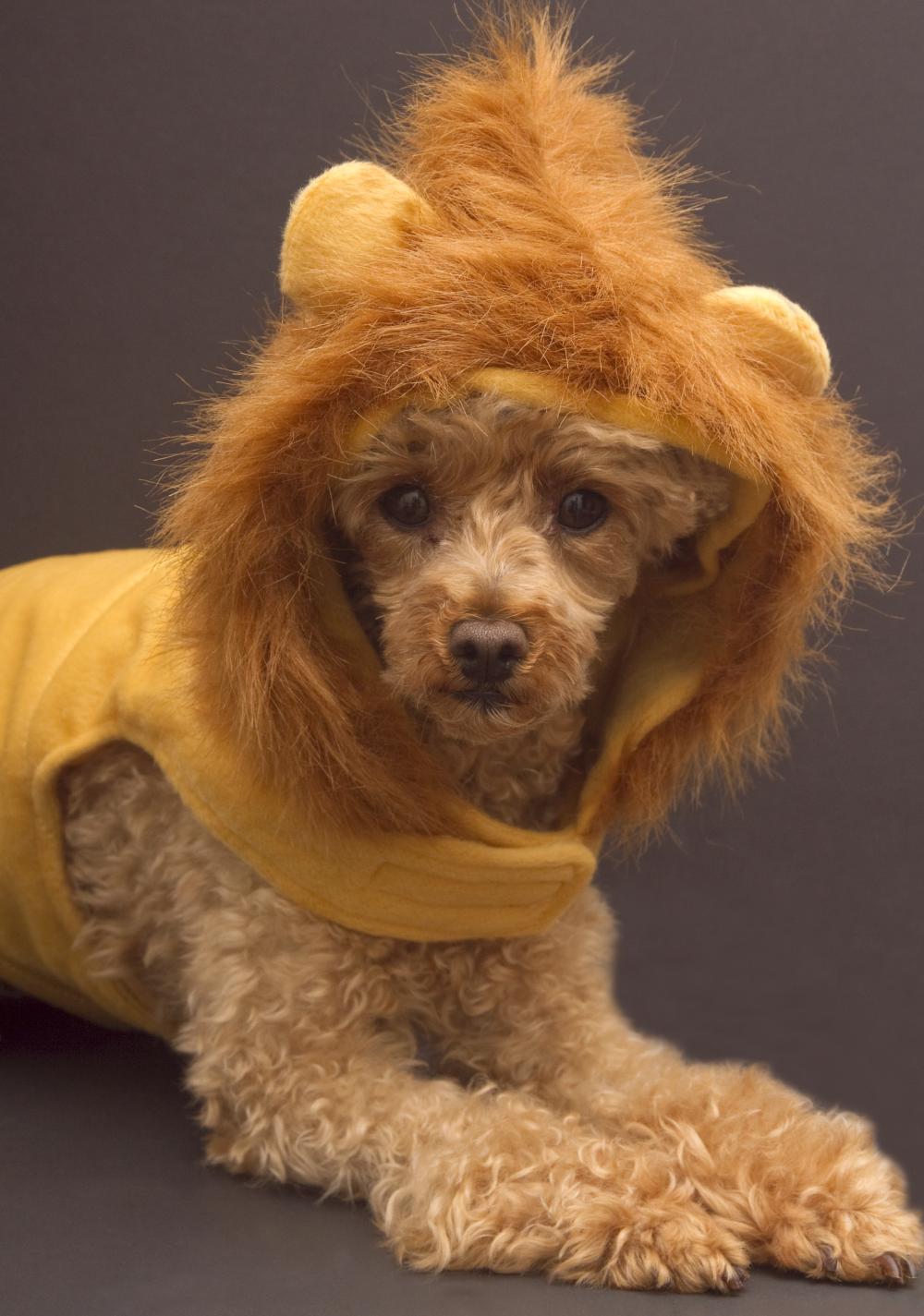 Lion dog dog halloween costumes