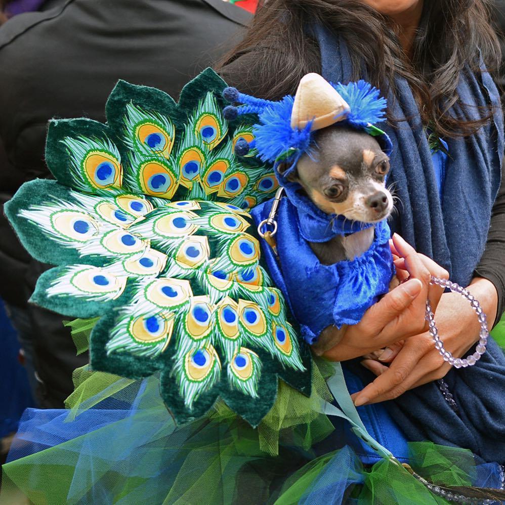 Peacock dog diy dog halloween costumes