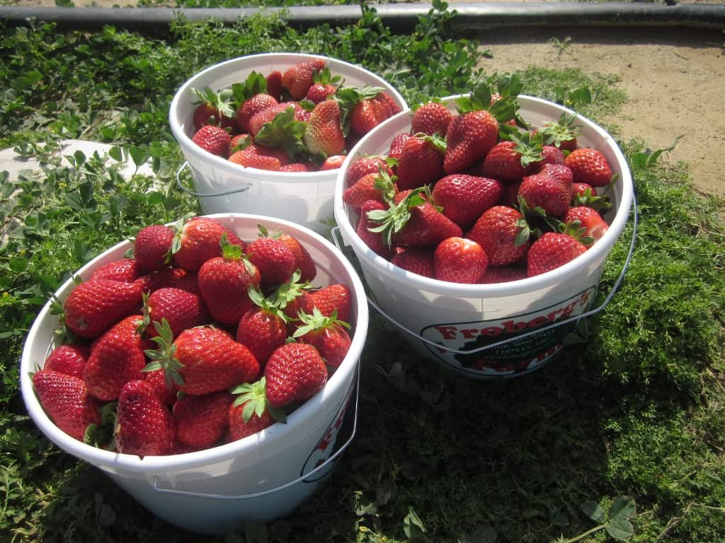 Strawberry picking at a local farm