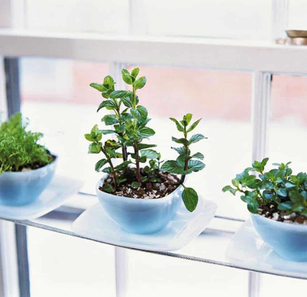 Teacup herb planters diy