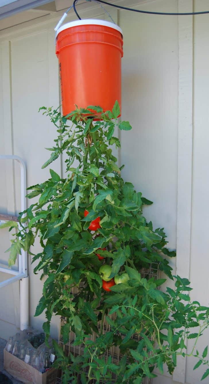 Consider anti gravity tomato gardens