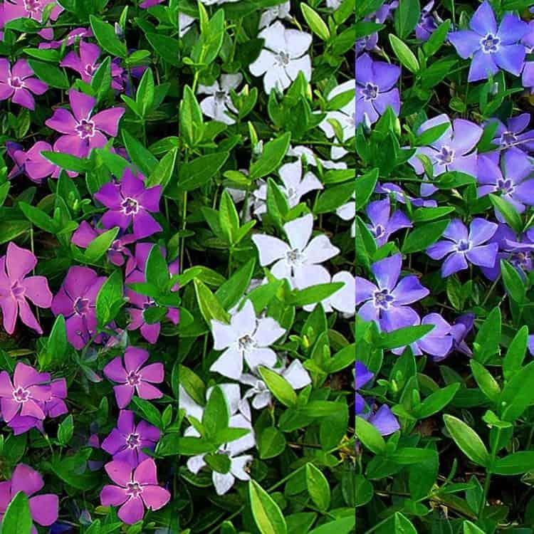 Vinca flower