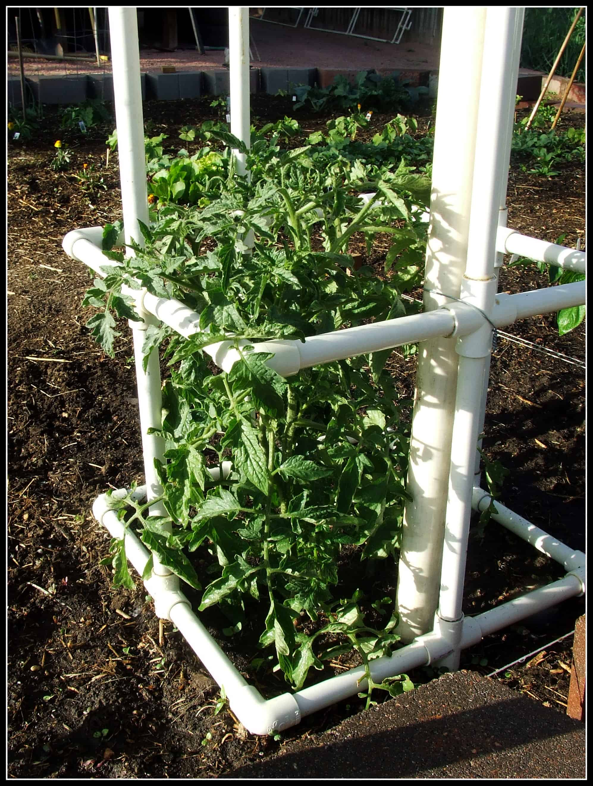 Diy pvc pipe tomato cages