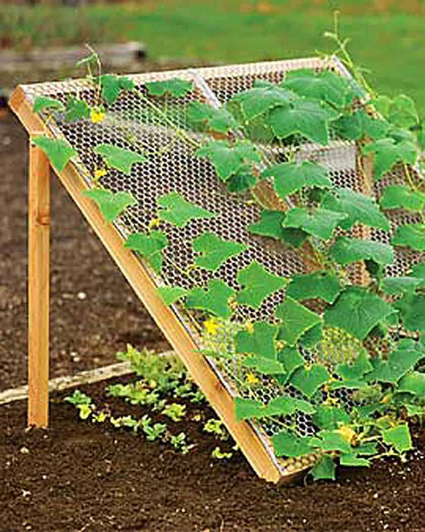 Build a trellis to grow cucumbers and shade another plant