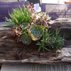 Driftwood succulents