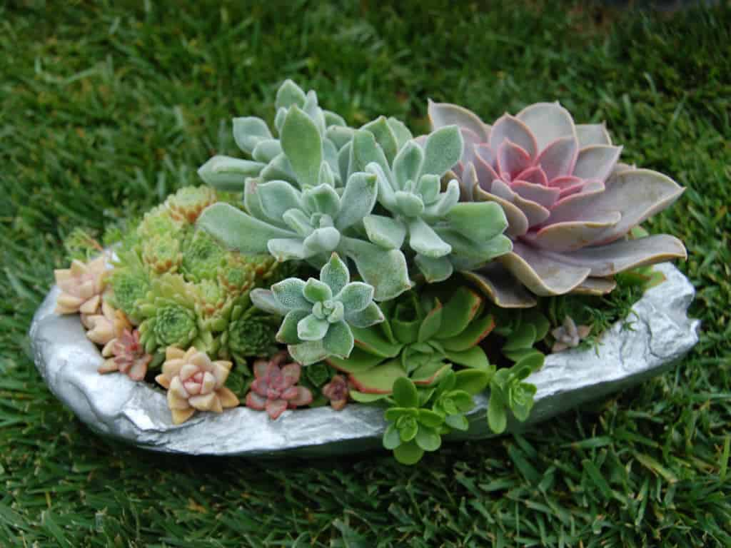 Succulent garden in a pained seashell