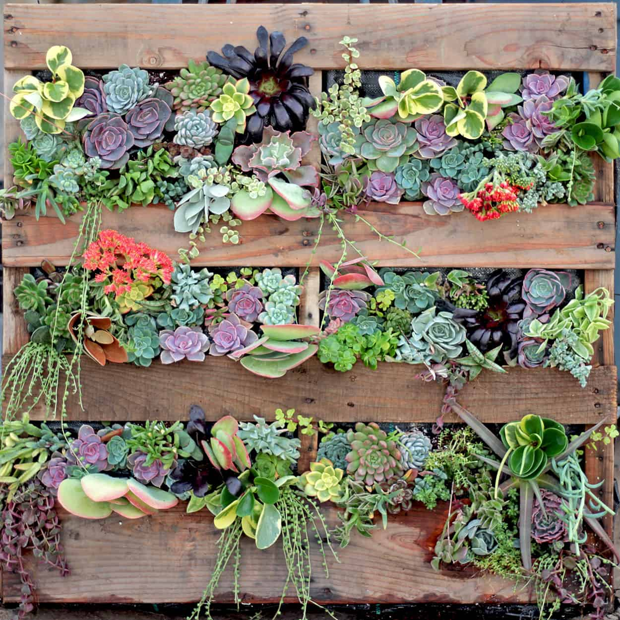 Upcycled pallet succulent living wall