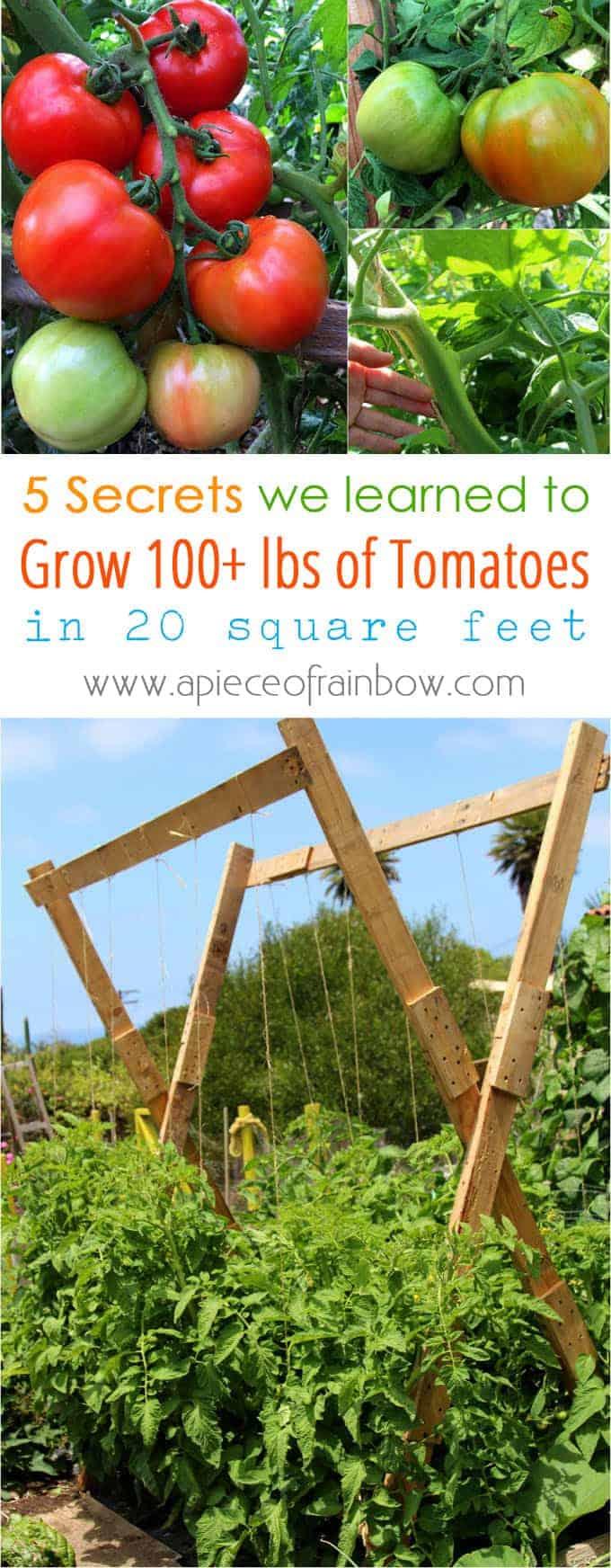 Jumbo x frame tomato tellis