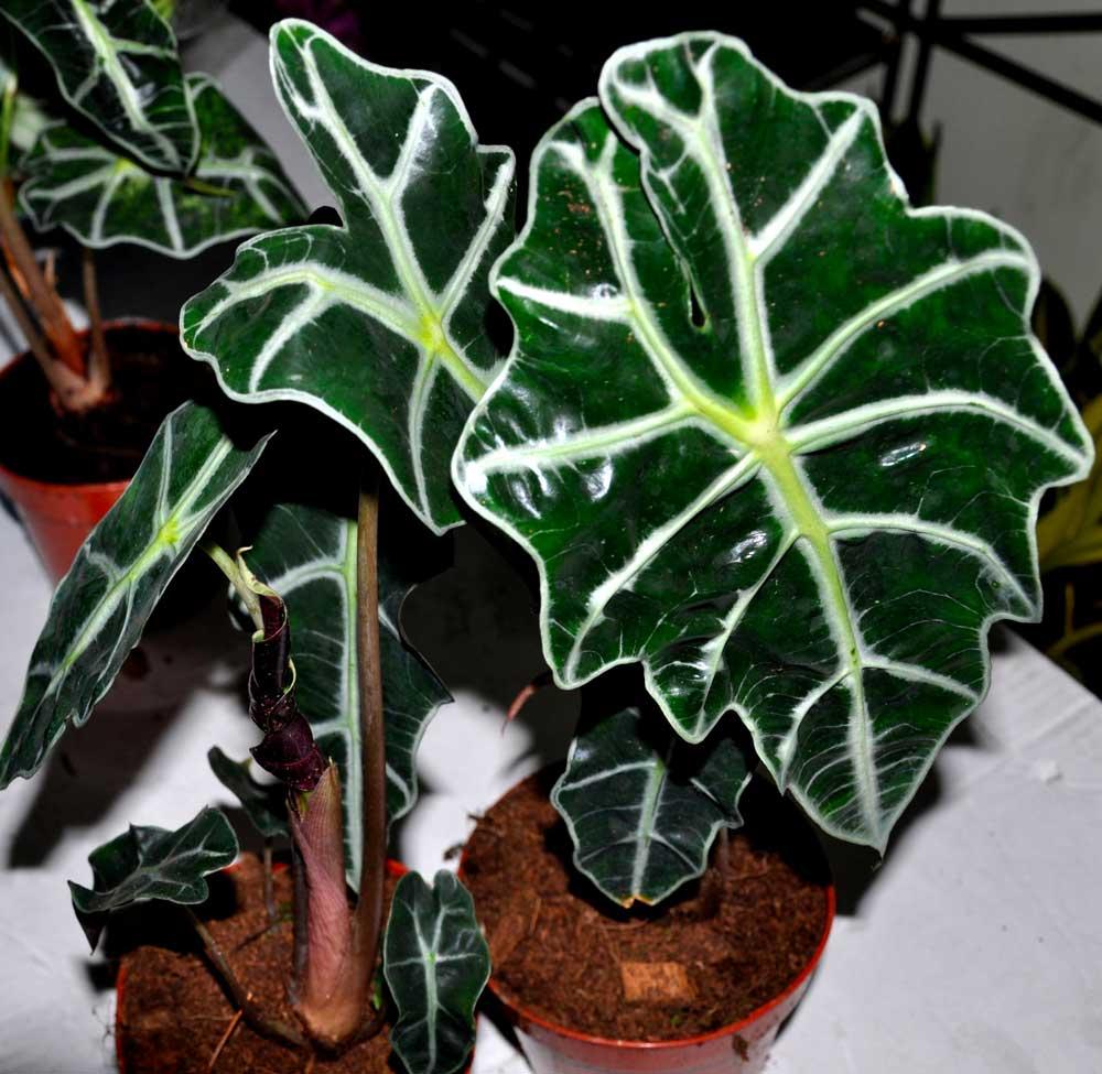 Alocasia amazonica elephants ear plant