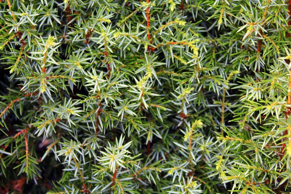Grow and care for juniper shrubs