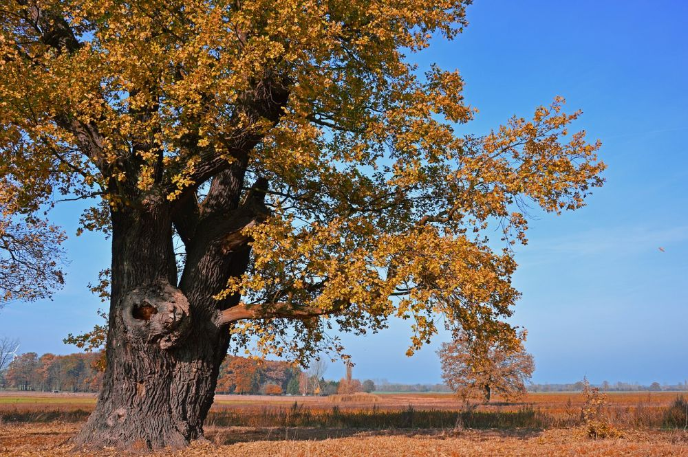 Oak tree variation