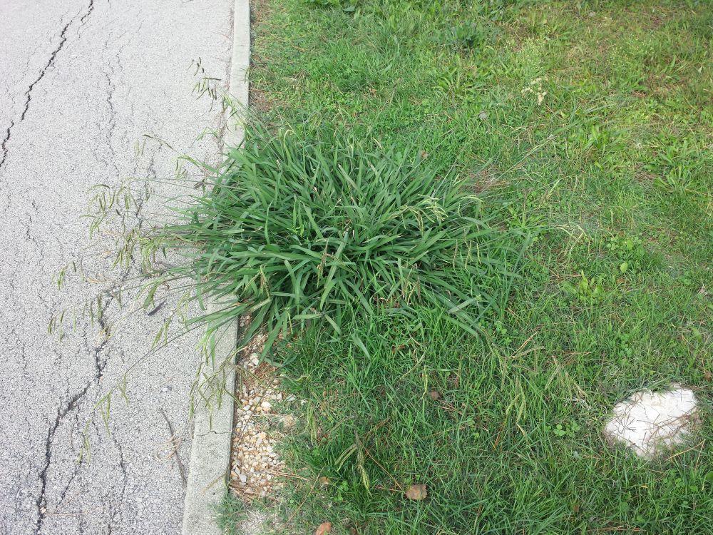 Paspalum dilatatum weed