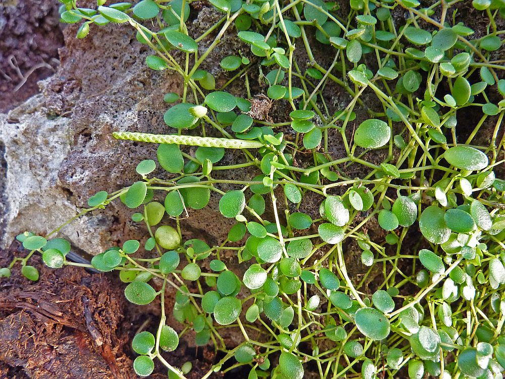 Peperomia hope (rotundifolia)