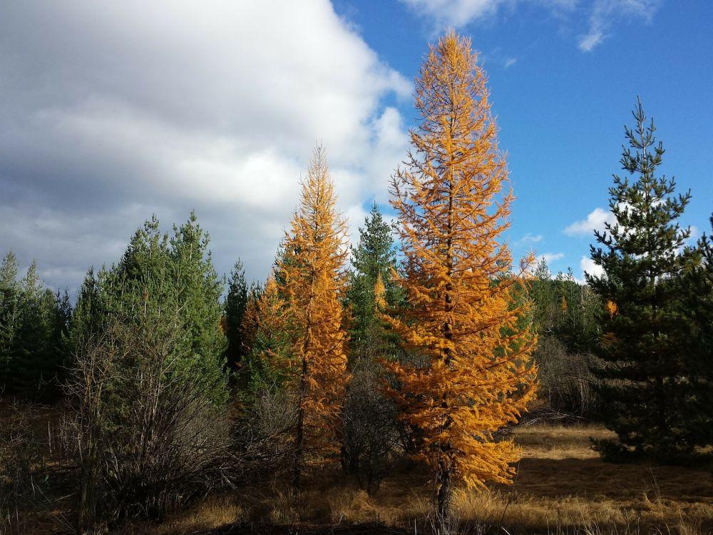 Tamarack tree how to grow and care