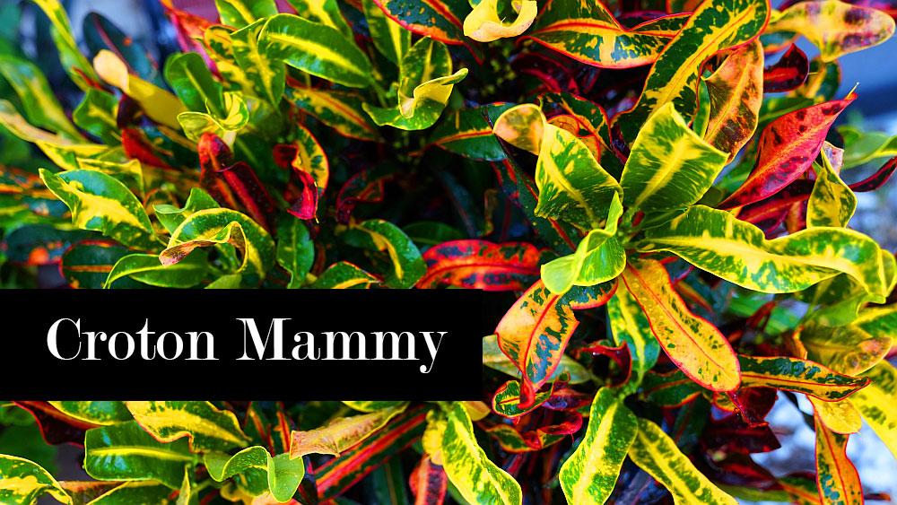 Croton mammy care