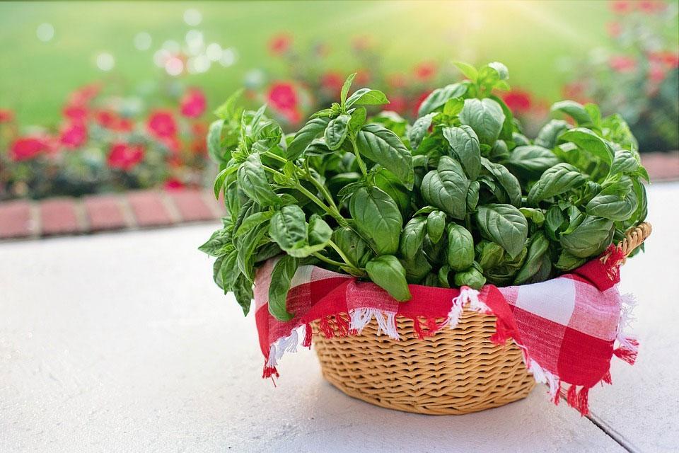 Fresh basil harvest