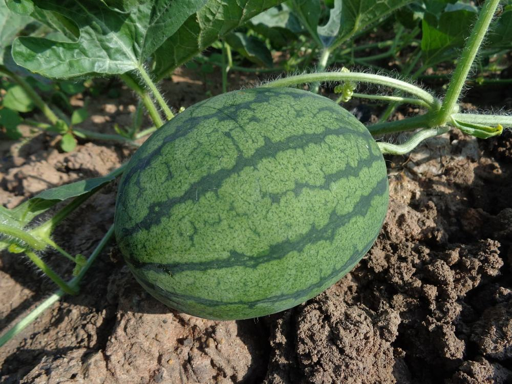 Growing and maintaining sugar baby watermelon