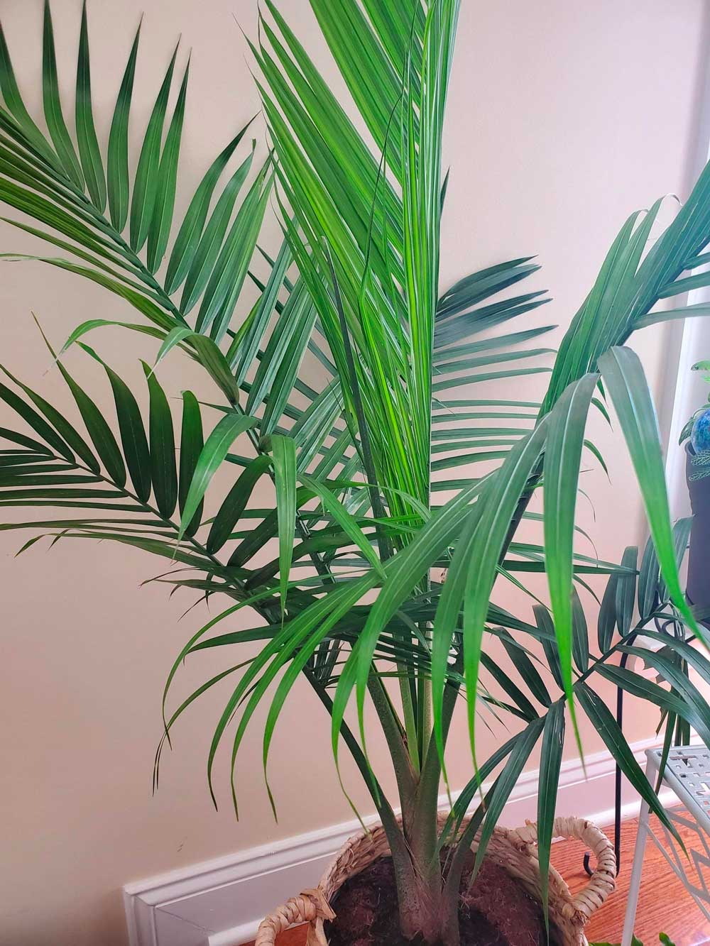 Indoor palm tree