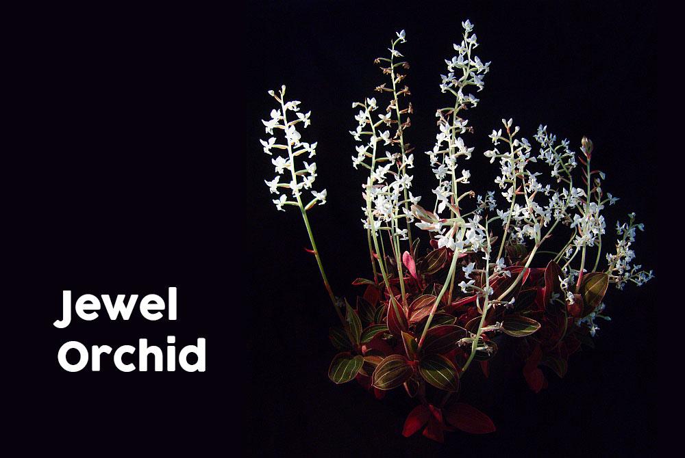 Jewel orchid (ludisia discolor)