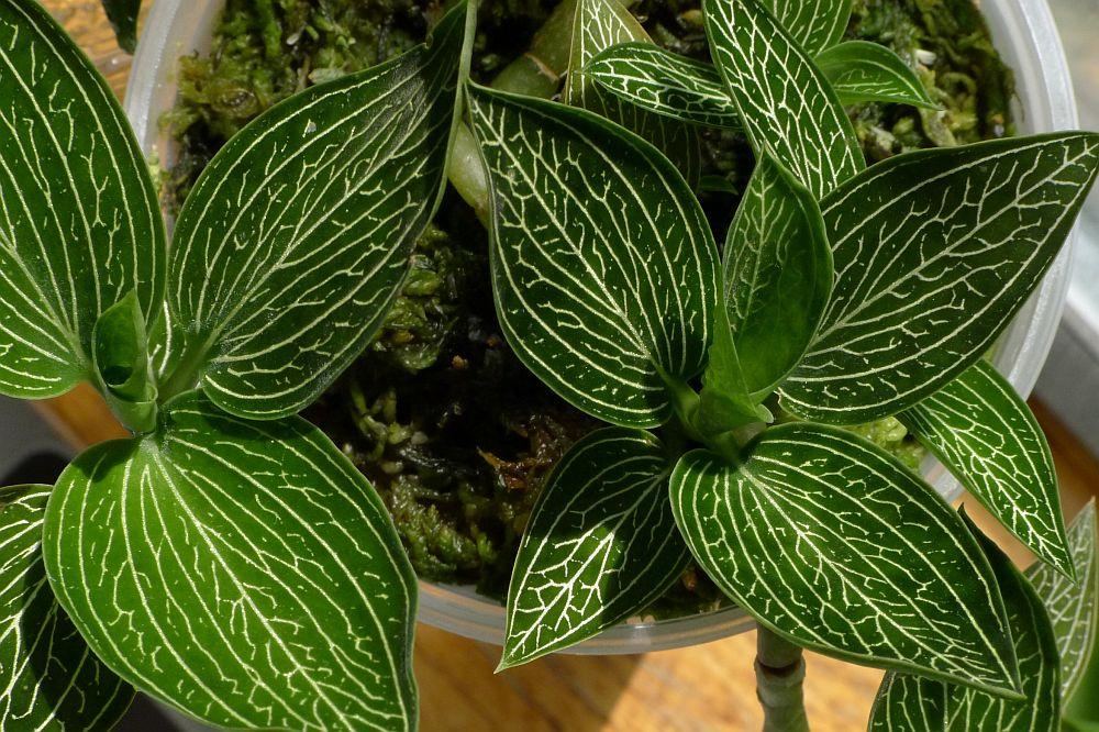 Ludisia discolor alba jewel orchid