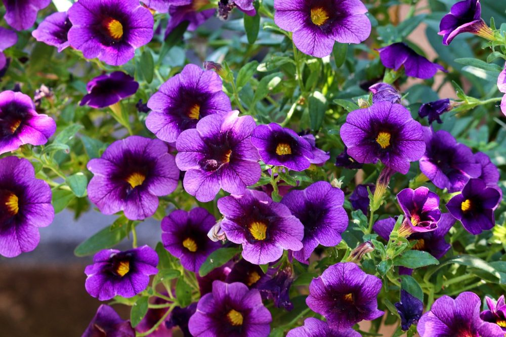 Petunia plants colors