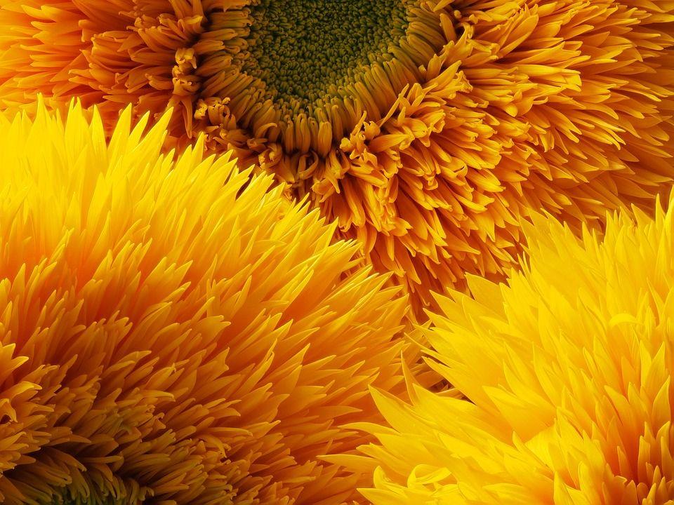 Teddy sunflower detail