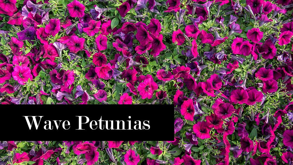 Wave petunia care