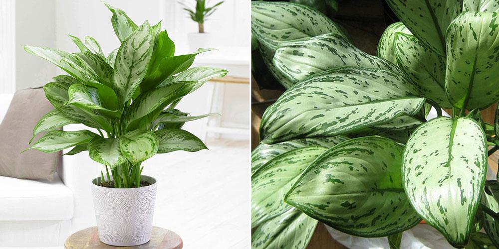 Aglaonema Maria Christina - Chinese Evergreen Indoor Plant