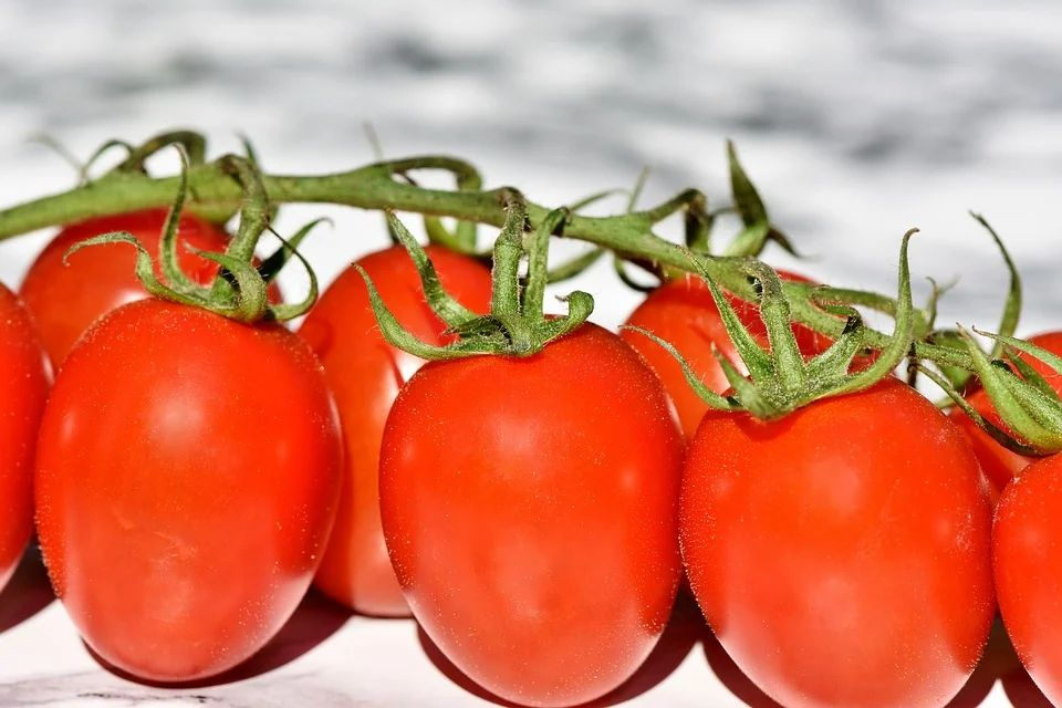 Bush trussed tomatoes