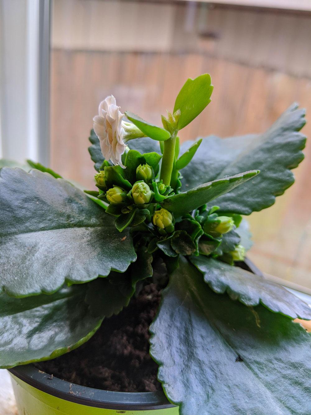 Calandiva plant care