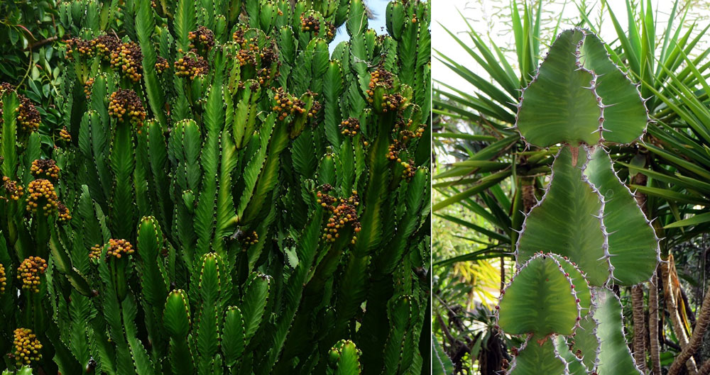 Euphorbia trigona, the African Milk tree