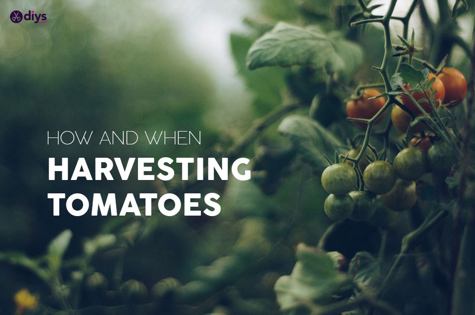 When to Pick Tomatoes - Harvesting tomatoes