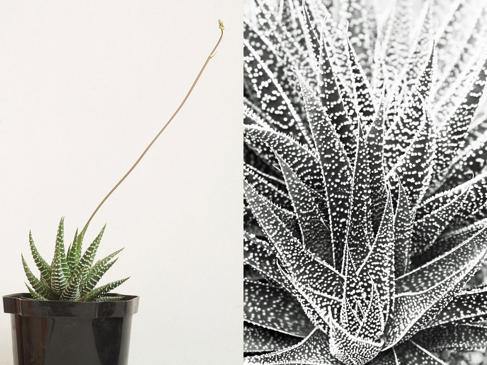 Haworthia pearl plant