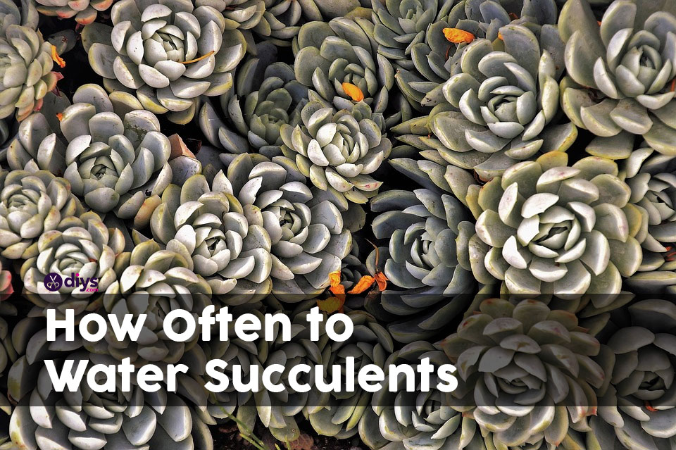 How often do you water succulents