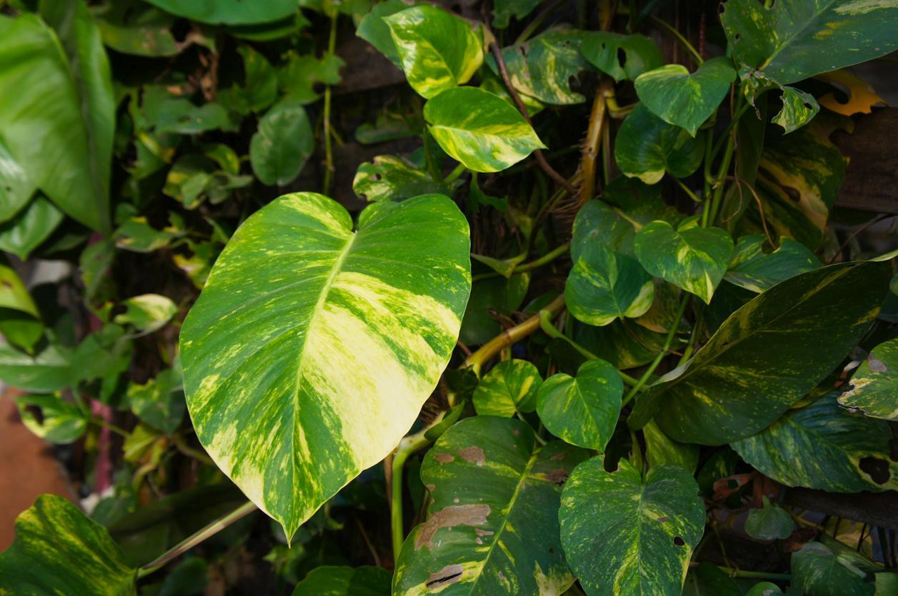 Epipremnum aureum giant golden pothos foliage of tropical plant