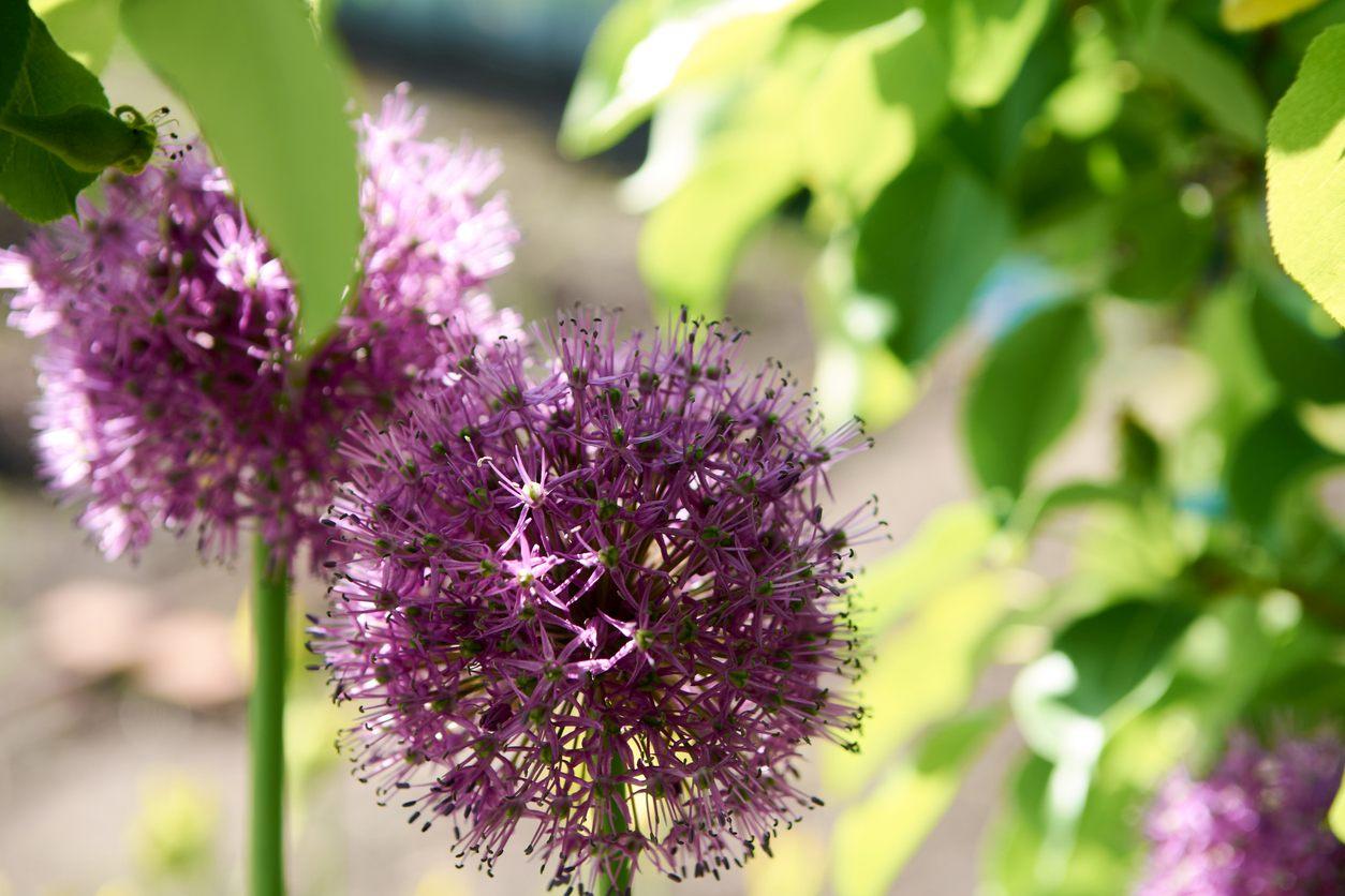 Blooming purple organic decorative bow allium rosenbachianum