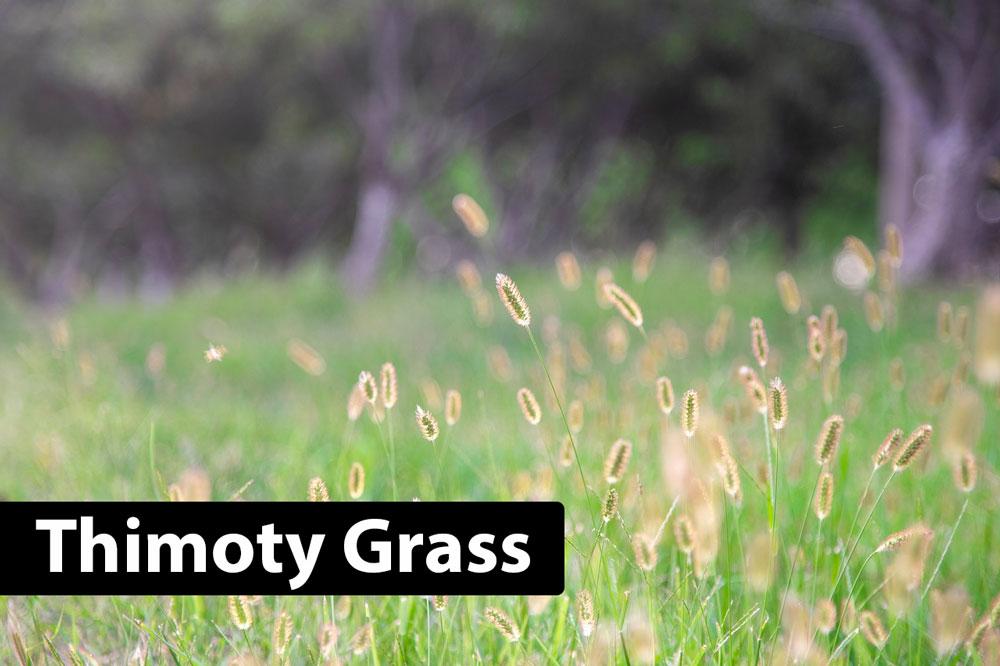 Thimoty grass