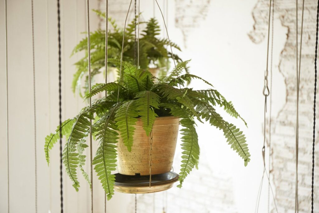 Fern Plants - Grow And Propagate Ferns In your Garden