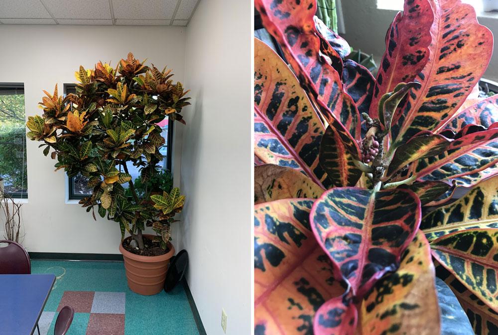 Croton magnificent house plant