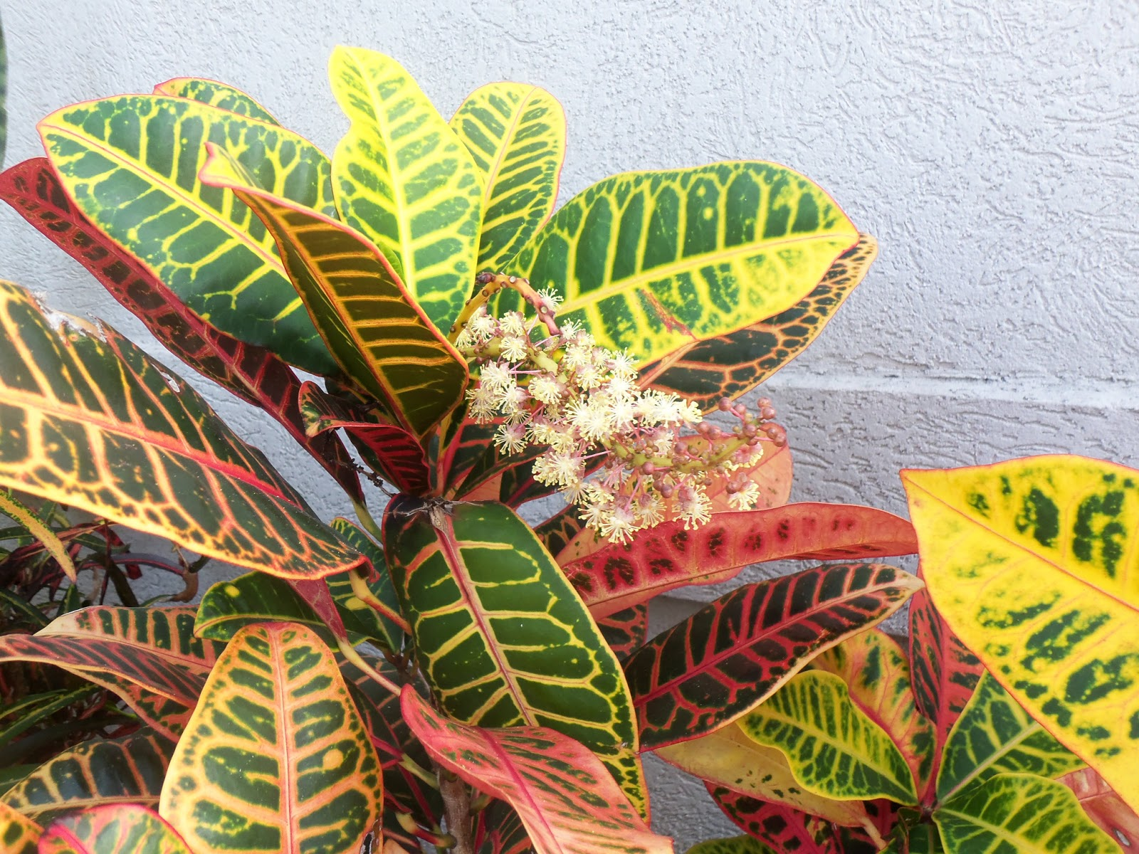 Croton magnificent plant