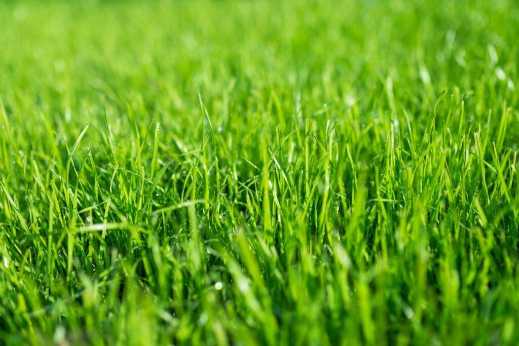 Growing lawn, green lawn
